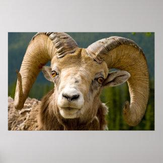 Big Horned Sheep Poster