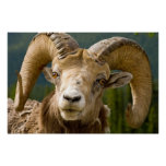 Big Horned Sheep Posters