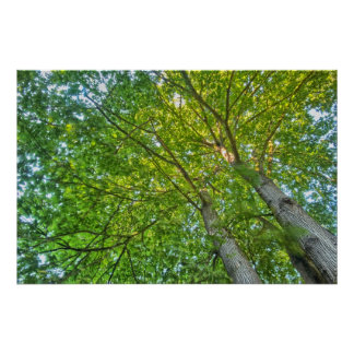 Big Leaf Maple Print
