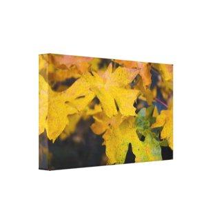 Big Leaf Maple Wrapped Canvas 2 wrappedcanvas