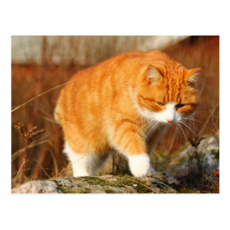Big Orange Tom Cat on the Prowl Postcard