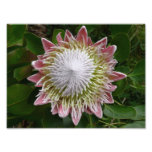 Big Pink and White Flower Nature Floral Photo Print