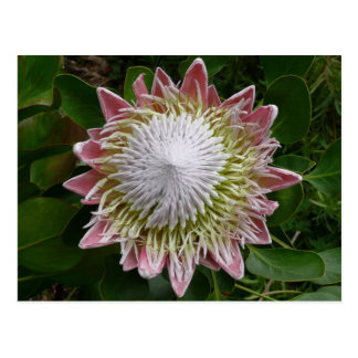 Big Pink and White Flower Nature Floral Postcard