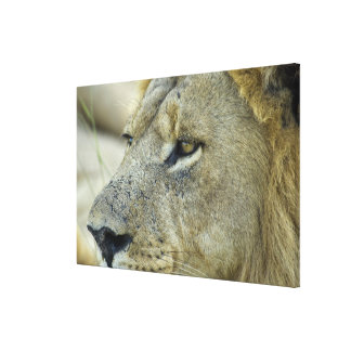 Big Red is a magnificent male Lion residing in Canvas Print