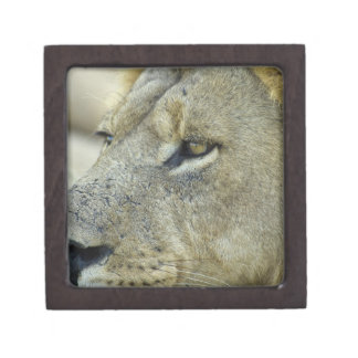 Big Red is a magnificent male Lion residing in Jewelry Box