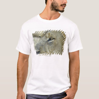 Big Red is a magnificent male Lion residing in T-Shirt