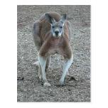 Big Red Kangaroo Post Cards