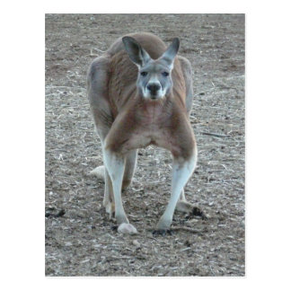 Big Red Kangaroo Postcard