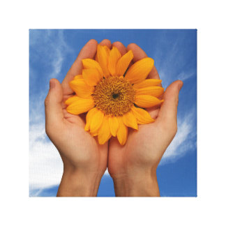 big sunflower cupped in hands blue sky background canvas print