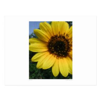 Big Sunflower Postcards