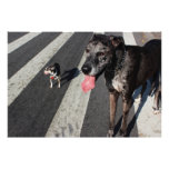 Big & Tall, Photo of Great Dane & Chihuahua Dogs