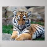 Big Tiger Cub Print
