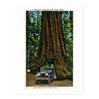 Big Tree Wawona, Mariposa Grove, CA Postcard