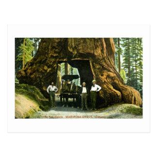Big Tree Wawona, Mariposa Grove, CA Vintage Postcard