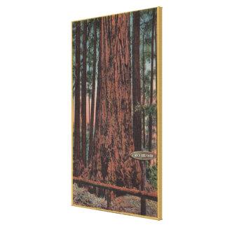 Big Trees State Park, CA - Neck Breaker Tree Canvas Print