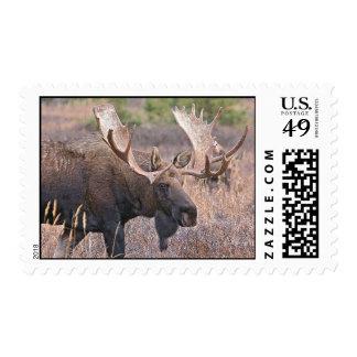 Bigbull moose postage