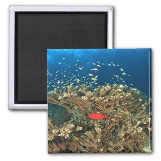 Bigeye hiding under hard coral, Kadola Island, Magnet