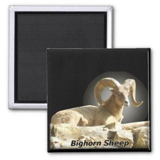 Bighorn in Dark Magnet