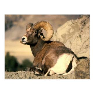 Bighorn Ram Postcard
