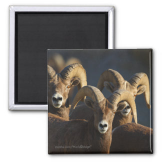 Bighorn Sheep 2 Inch Square Magnet
