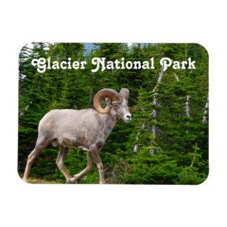 Bighorn Sheep, Glacier National Park, Montana Magnet