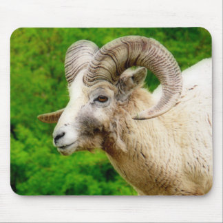 Bighorn Sheep - Male with Big Horns Mouse Pads