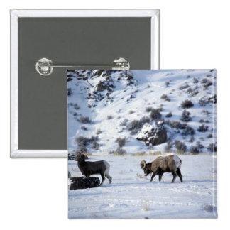 Bighorn sheep (Mating behaviour) Pinback Buttons