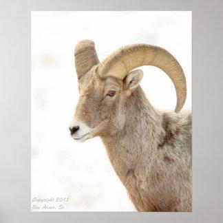 Bighorn Sheep Portrait #1 Poster