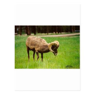 Bighorn Sheep Post Card