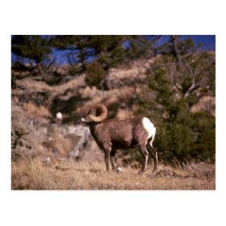 Bighorn sheep post cards