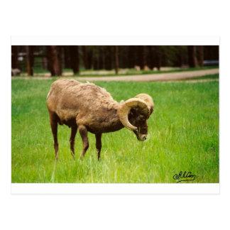Bighorn Sheep Postcards