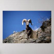 Bighorn sheep (Ram alert on face of mountain cliff Poster