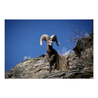 Bighorn sheep (Ram alert on face of mountain cliff Posters