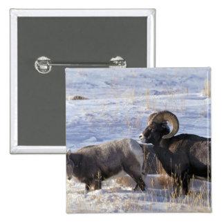 Bighorn sheep (Ram and Ewe show mating behaviour) Pins