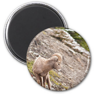 Bighorn Sheep Ram Magnet