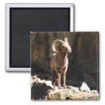 Bighorn Sheep Ram near rocks in Colorado. Fridge Magnet