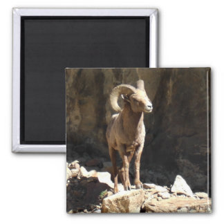 Bighorn Sheep Ram near rocks in Colorado. Magnet