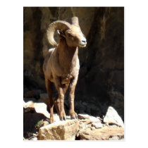 Bighorn Sheep Ram near rocks in Colorado. Postcard