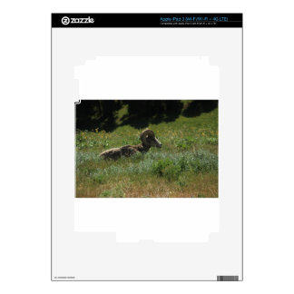 BigHorn Sheep Skins For iPad 3