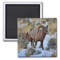Bighorn Sheep Snow Photo Magnet