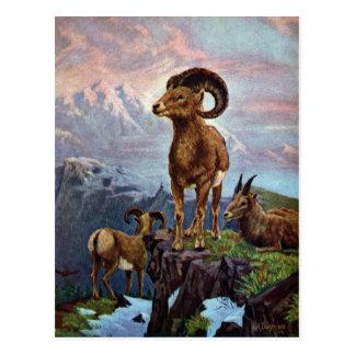 Bighorn Sheep Vintage Illustration Post Card