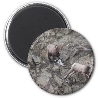 Bighorn Sheeps Magnet