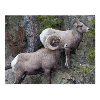 Bighorn Sheeps Postcard