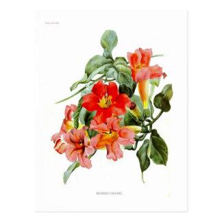 Bignonia cherere postcard