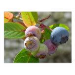 Bilberry postcard