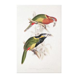 Bill manchado Aracari, siglo XIX Lienzo Envuelto Para Galerías