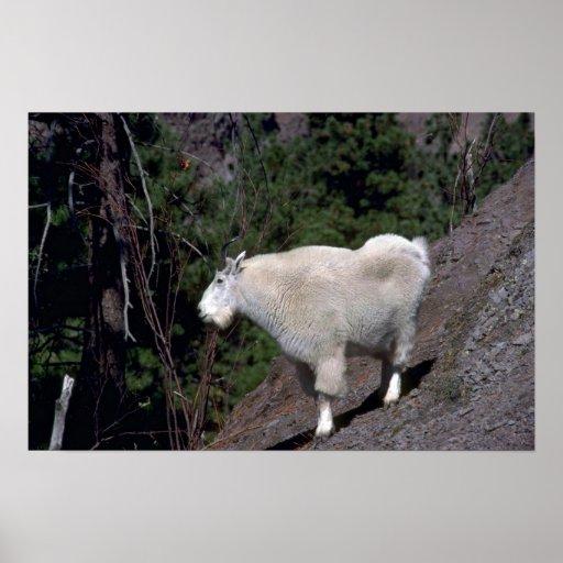 Billy Cabra-alerta de la montaña rocosa en la lade Posters