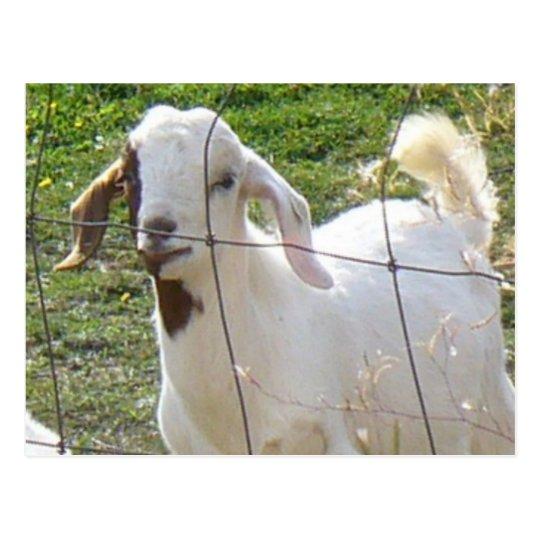 Billy Goat 2 Postcard