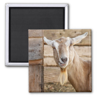 Billy Goat Eating 2 Inch Square Magnet
