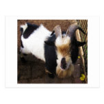 Billy Goat Post Card